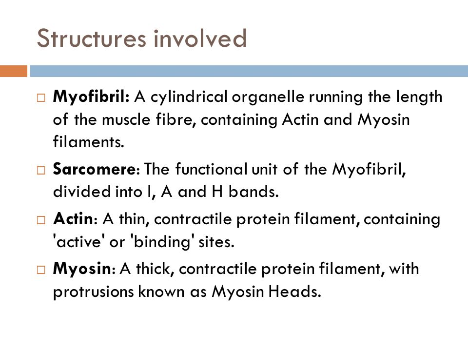 Structures involved Myofibril: A cylindrical organelle running the length of the muscle fibre, containing Actin and Myosin filaments.