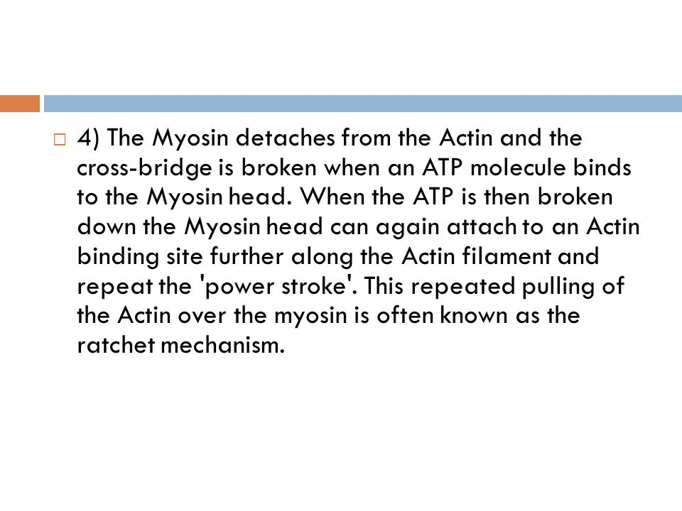 4) The Myosin detaches from the Actin and the cross-bridge is broken when an ATP molecule binds to the Myosin head.