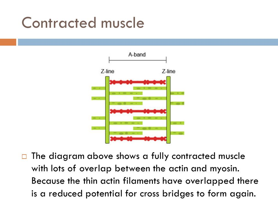 Contracted muscle