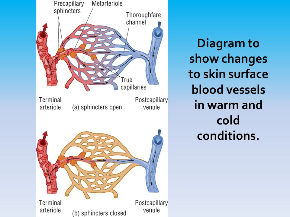 Diagram to show changes to skin surface blood vessels in warm and cold conditions.