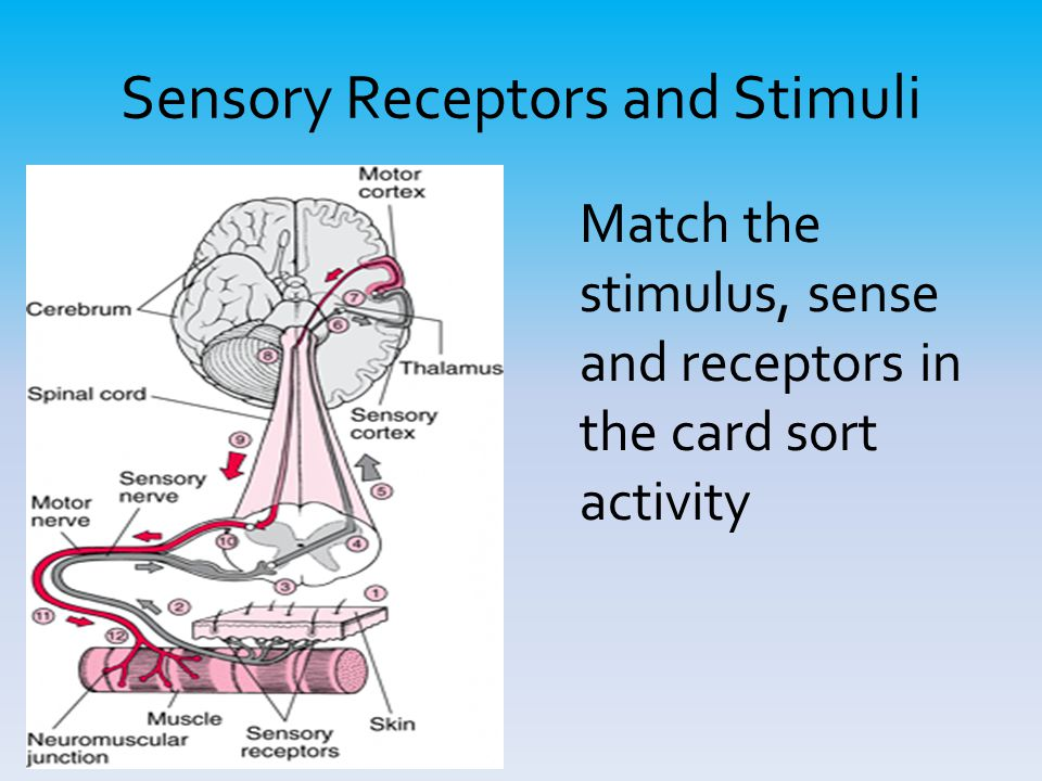 senses and stimuli Sensory organs are very highly developed and specialized organs that are an extension of the central nervous system, with a sole function to take in information and relate it to the brain.