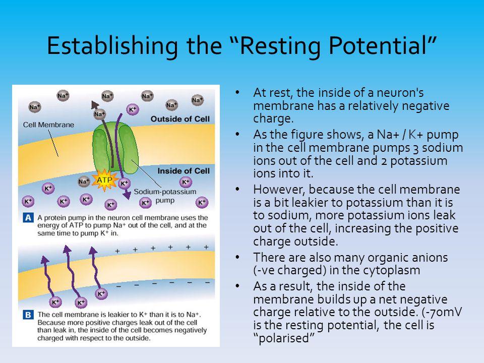 Establishing the Resting Potential