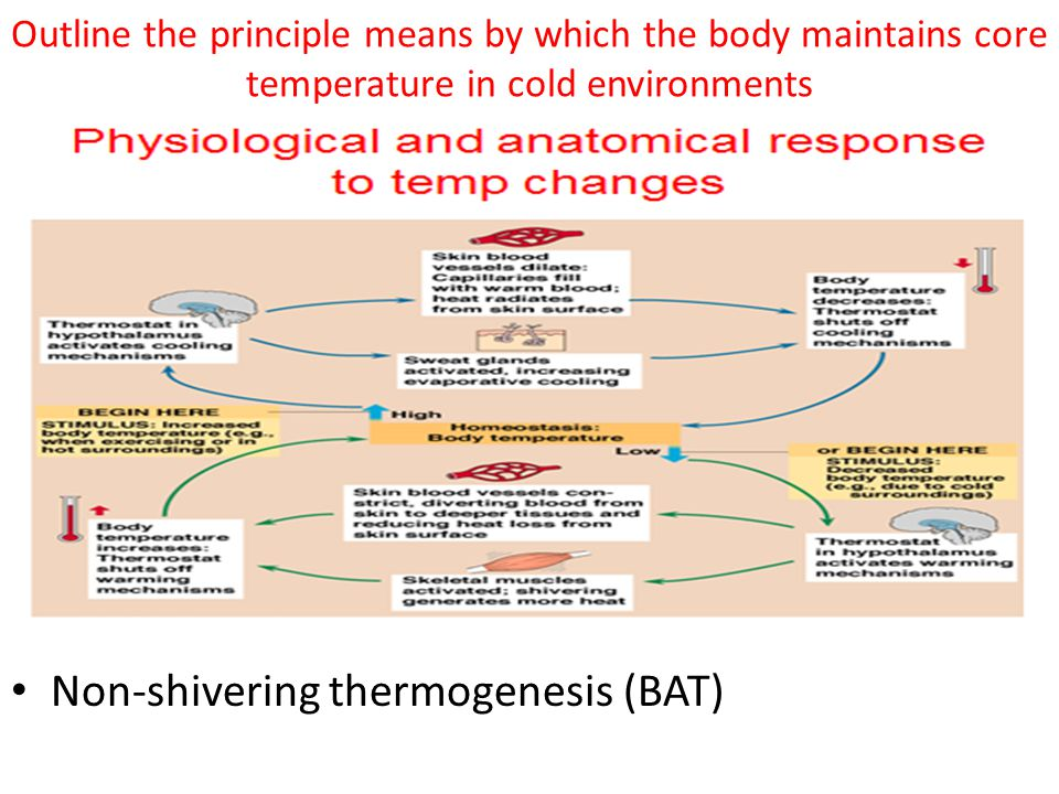 Non-shivering thermogenesis (BAT)