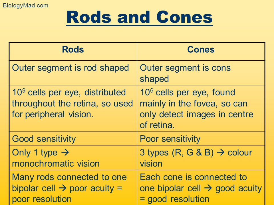 Rods and Cones Rods Cones Outer segment is rod shaped