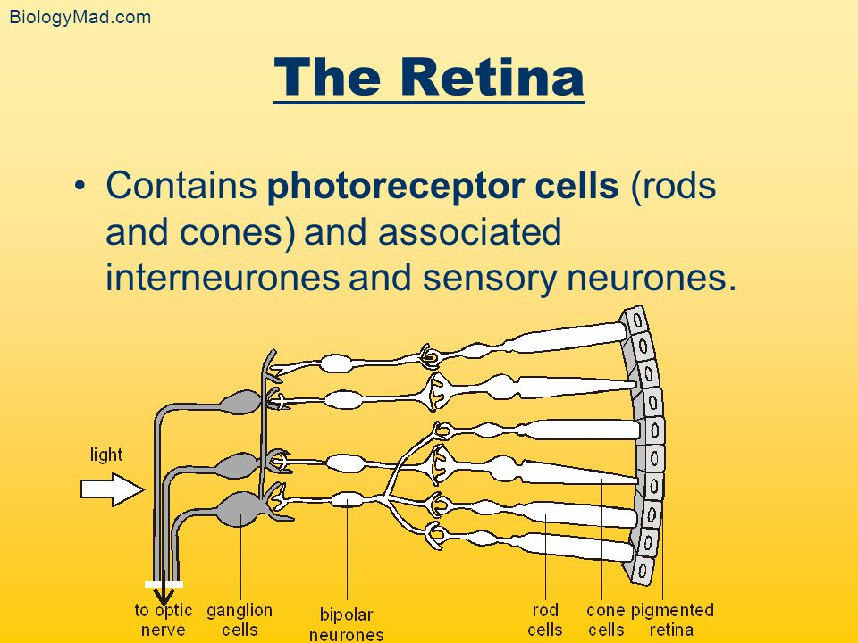 BiologyMad.com The Retina. Contains photoreceptor cells (rods and cones) and associated interneurones and sensory neurones.