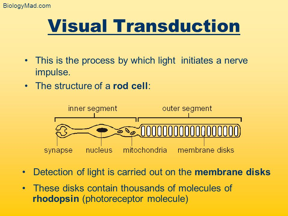 BiologyMad.com Visual Transduction. This is the process by which light initiates a nerve impulse.