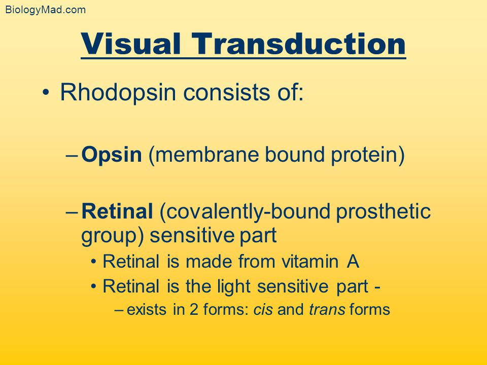 Visual Transduction Rhodopsin consists of: