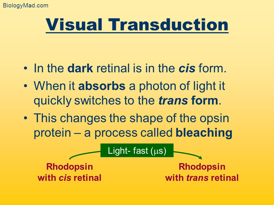 Rhodopsin with cis retinal Rhodopsin with trans retinal