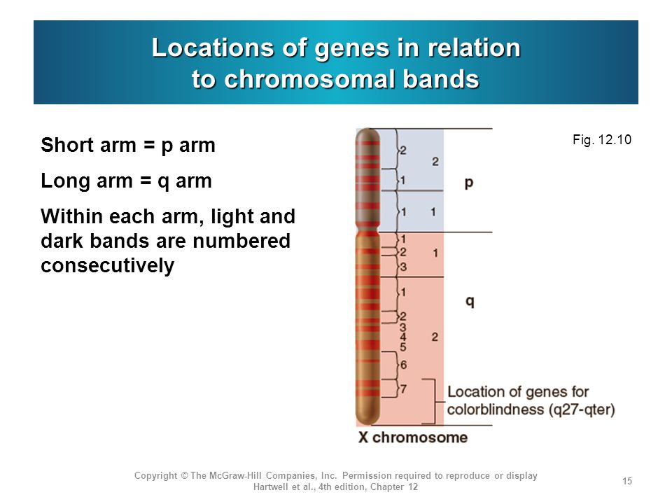Locations of genes in relation to chromosomal bands