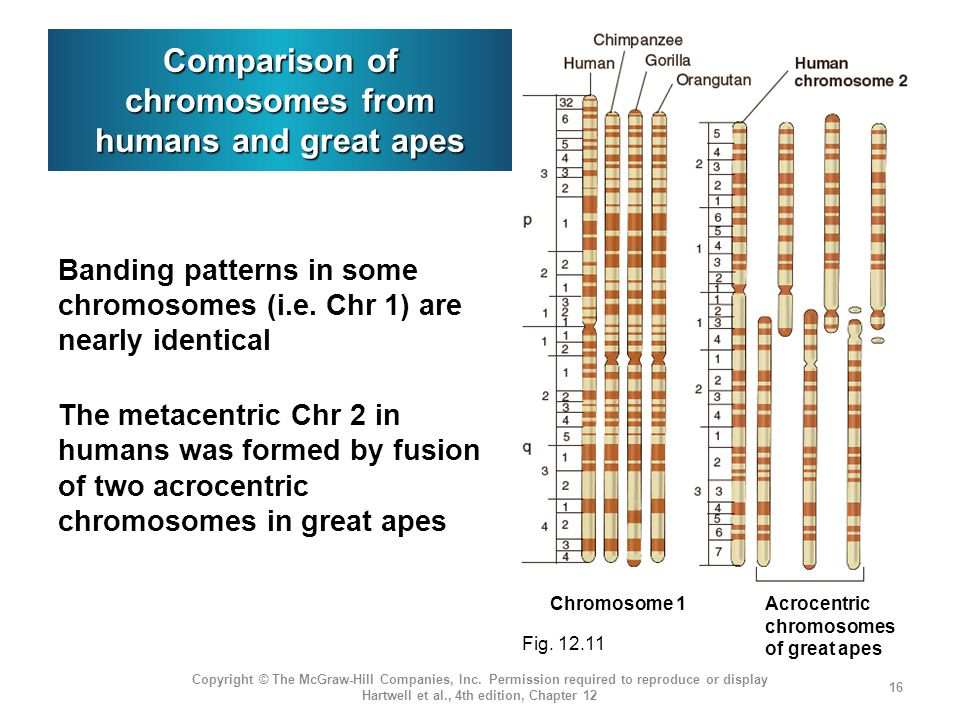 Comparison of chromosomes from humans and great apes