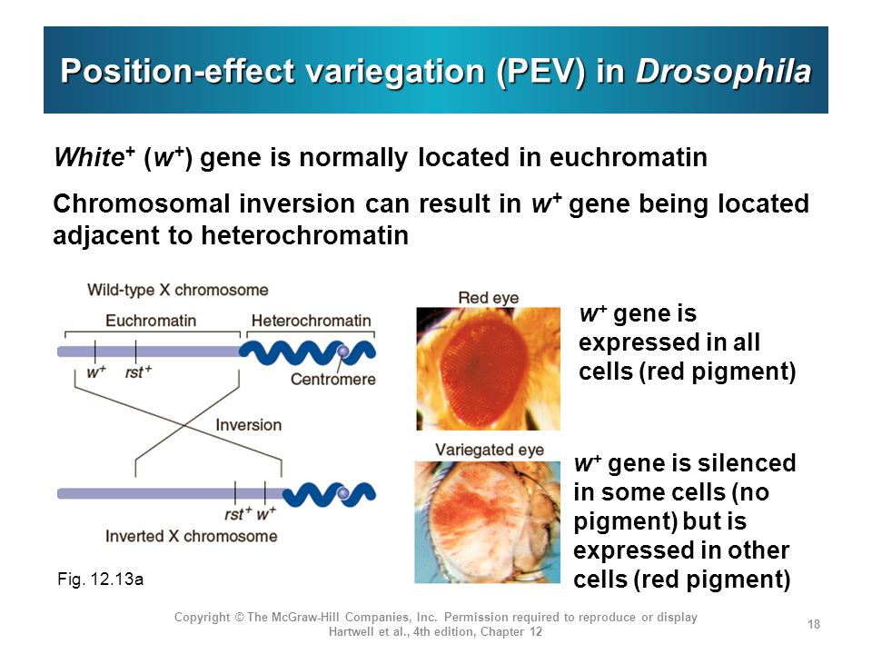 Position-effect variegation (PEV) in Drosophila