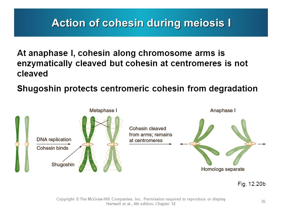 Action of cohesin during meiosis I