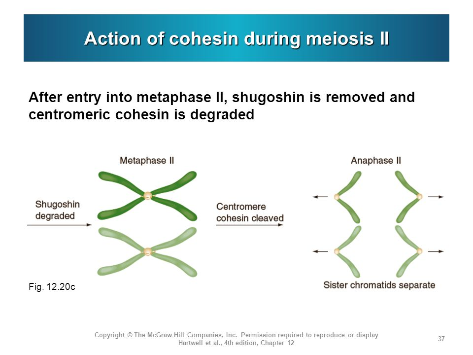 Action of cohesin during meiosis II
