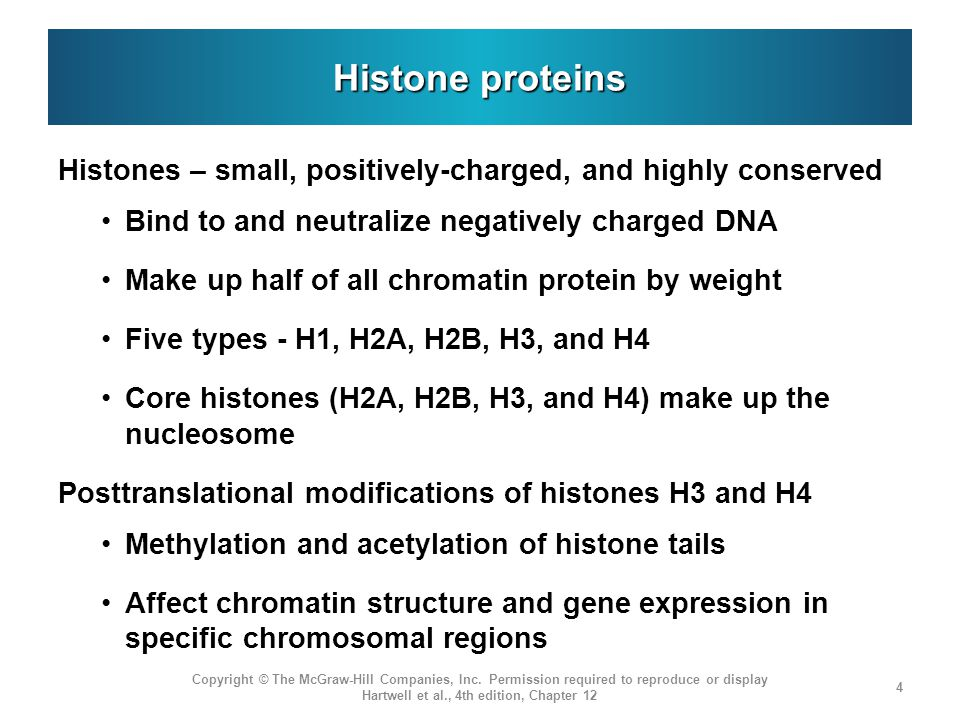 Histone proteins Histones – small, positively-charged, and highly conserved. Bind to and neutralize negatively charged DNA.