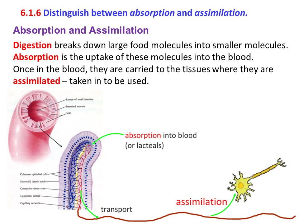 6.1.6 Distinguish between absorption and assimilation.