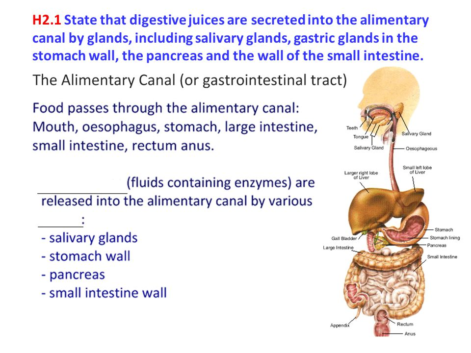 H2.1 State that digestive juices are secreted into the alimentary canal by glands, including salivary glands, gastric glands in the stomach wall, the pancreas and the wall of the small intestine.