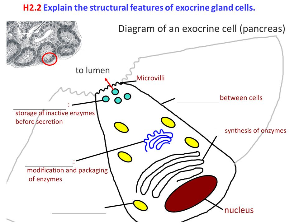 H2.2 Explain the structural features of exocrine gland cells.