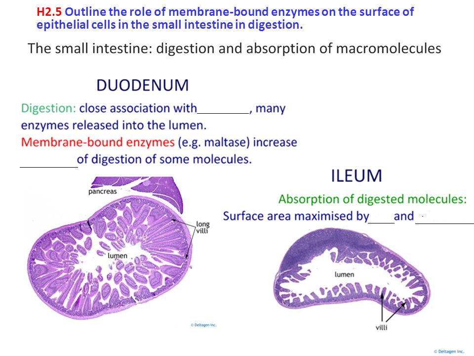 H2.5 Outline the role of membrane-bound enzymes on the surface of epithelial cells in the small intestine in digestion.