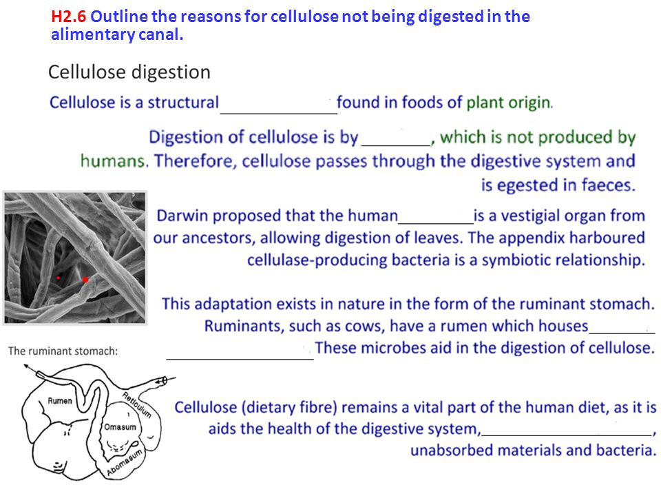 H2.6 Outline the reasons for cellulose not being digested in the alimentary canal.