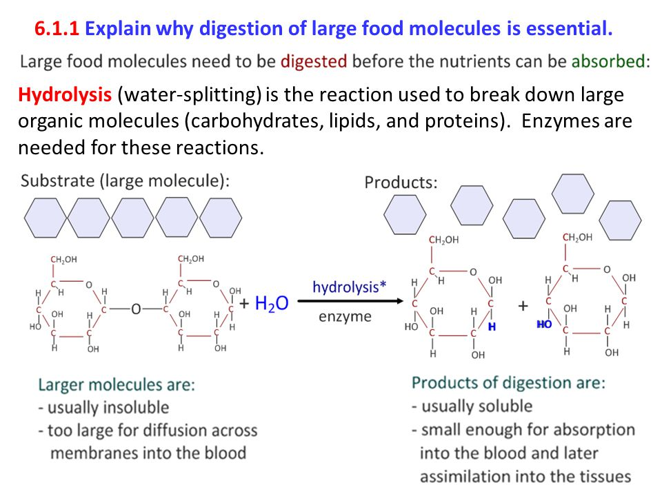 6.1.1 Explain why digestion of large food molecules is essential.