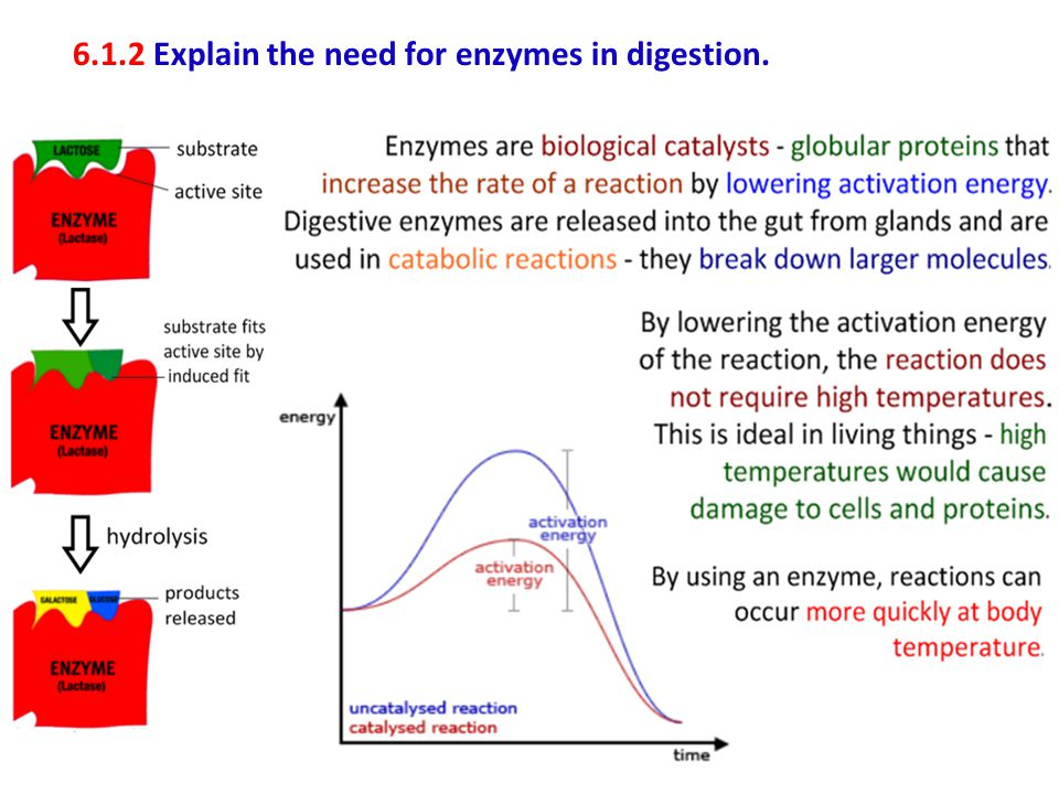6.1.2 Explain the need for enzymes in digestion.