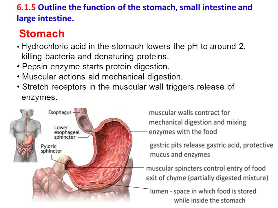 6.1.5 Outline the function of the stomach, small intestine and large intestine.
