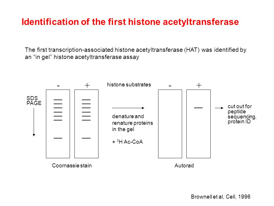 Identification of the first histone acetyltransferase