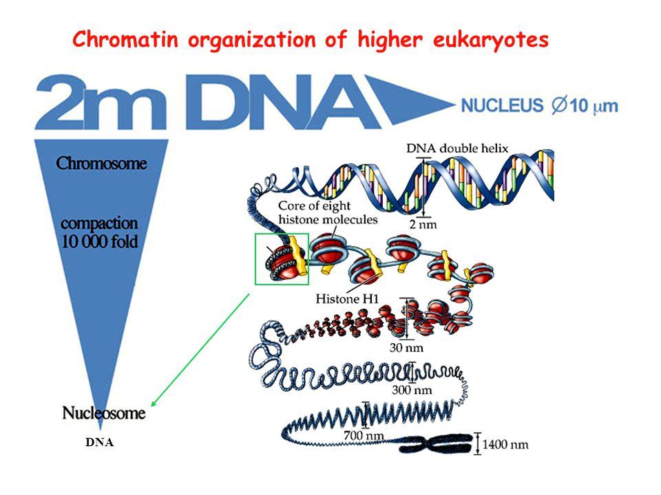Chromatin organization of higher eukaryotes