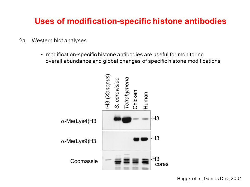 Uses of modification-specific histone antibodies