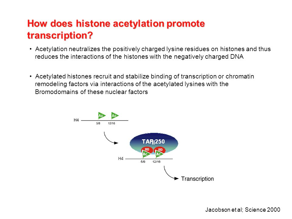 How does histone acetylation promote transcription