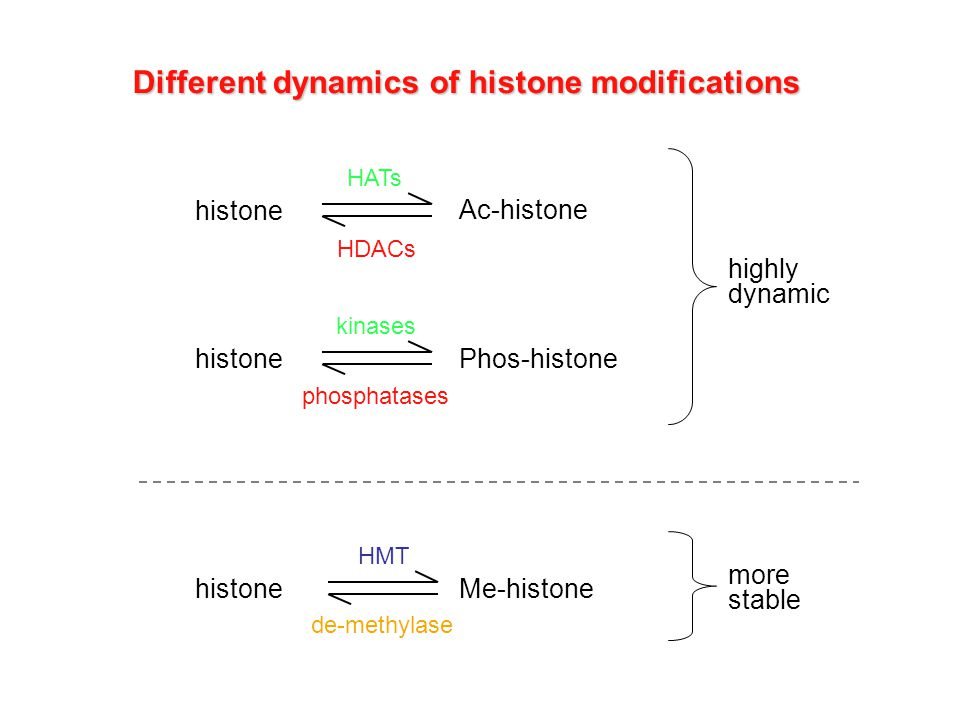 Different dynamics of histone modifications