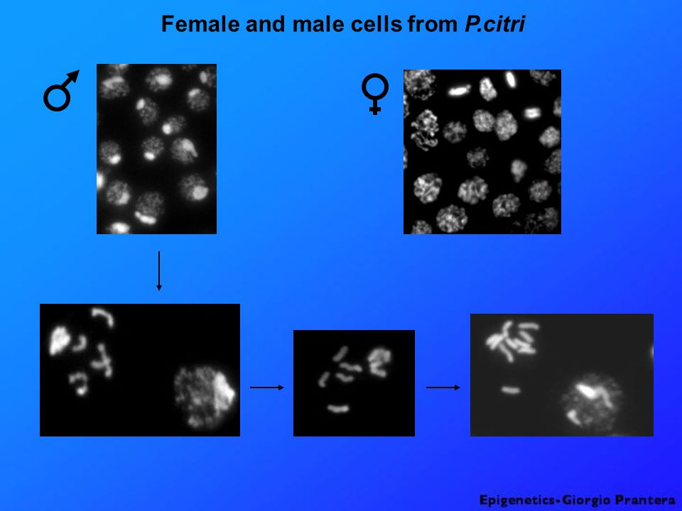 Female and male cells from P.citri