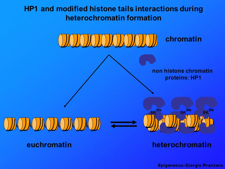 HP1 and modified histone tails interactions during heterochromatin formation