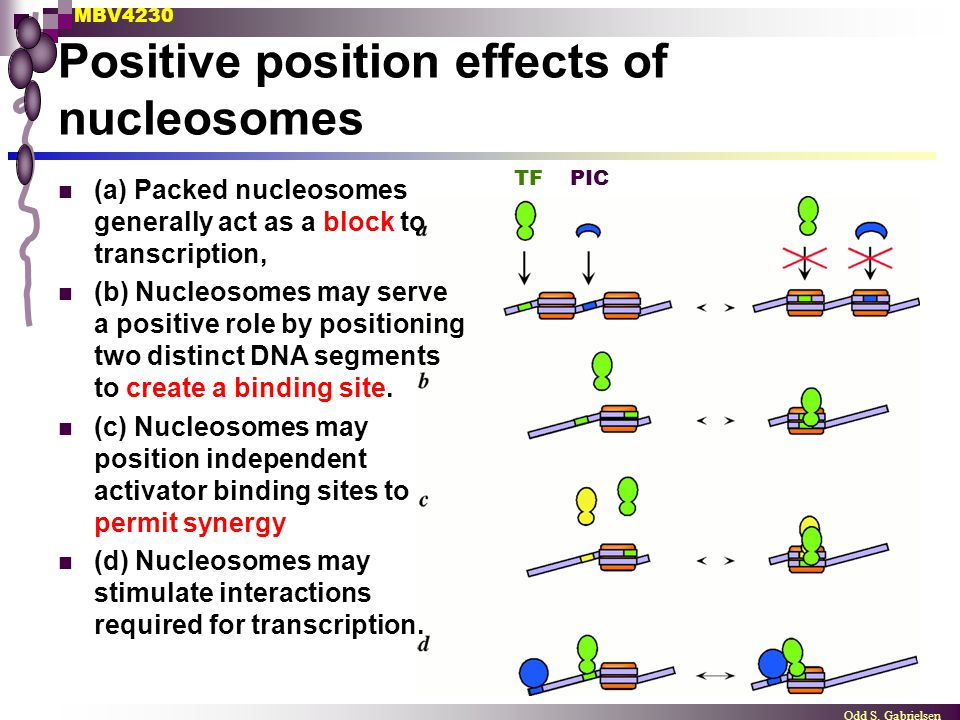 Positive position effects of nucleosomes