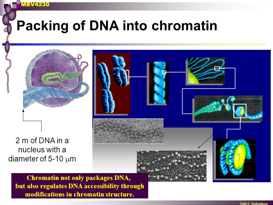 Packing of DNA into chromatin