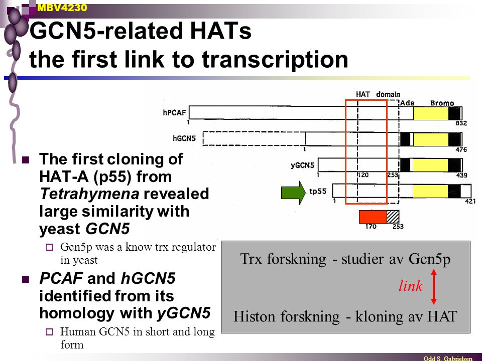 GCN5-related HATs the first link to transcription