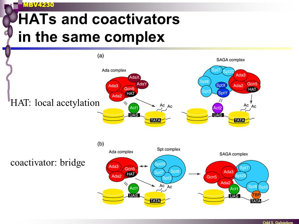HATs and coactivators in the same complex