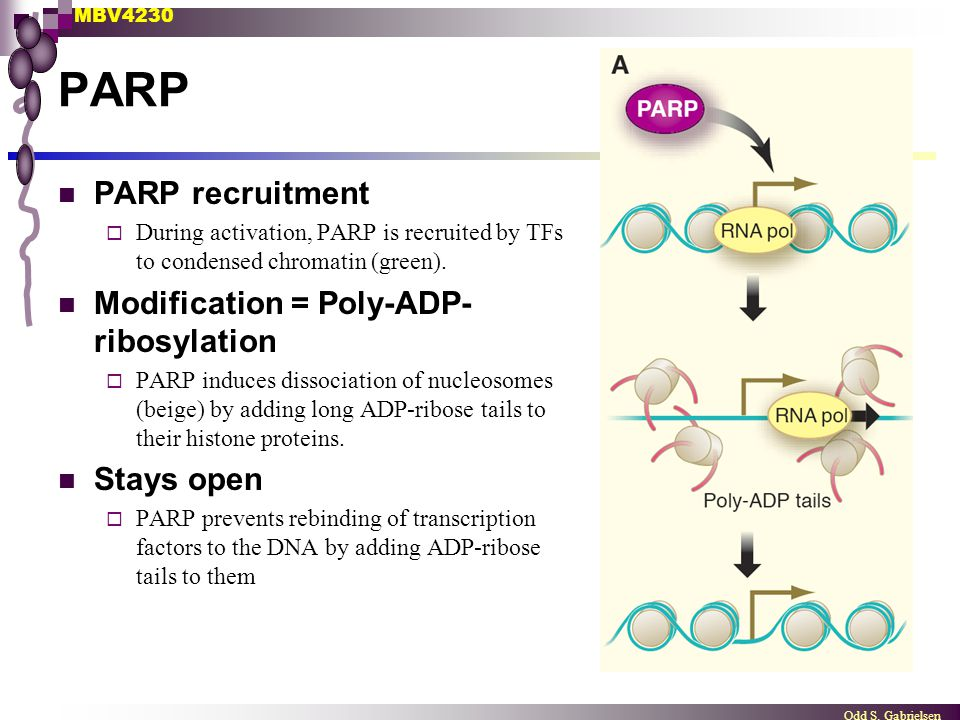 PARP PARP recruitment Modification = Poly-ADP-ribosylation Stays open