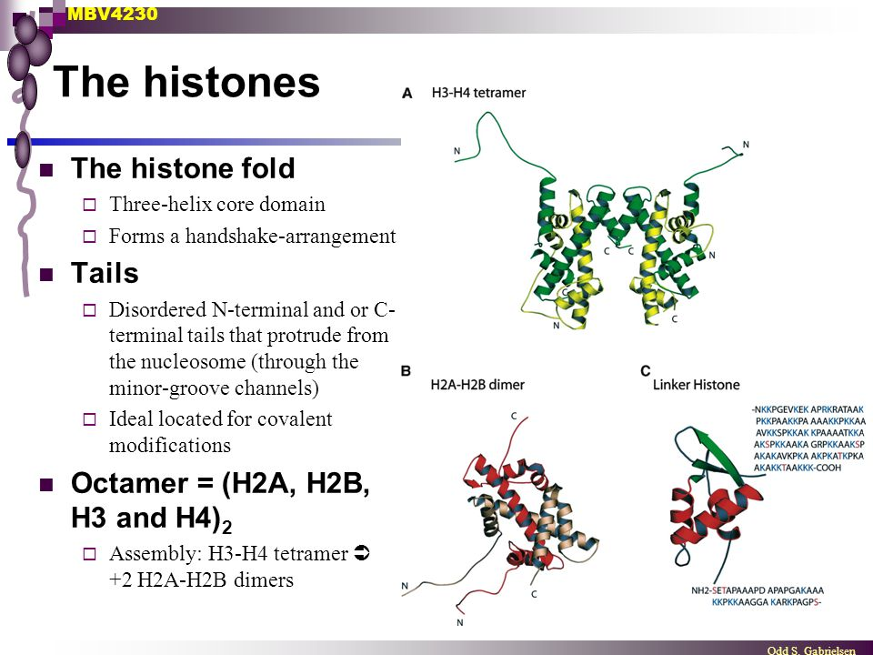 The histones The histone fold Tails Octamer = (H2A, H2B, H3 and H4)2
