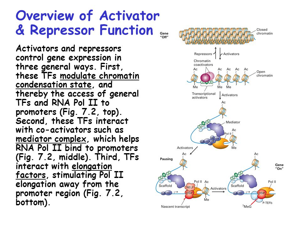 Overview of Activator & Repressor Function