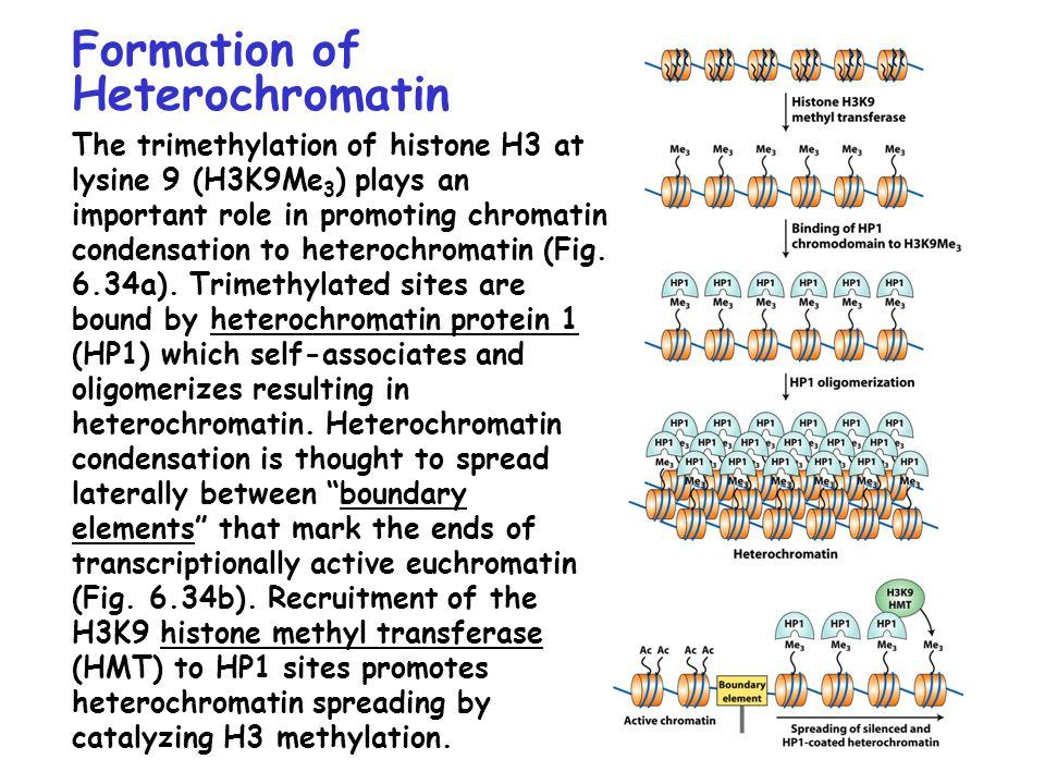 Formation of Heterochromatin