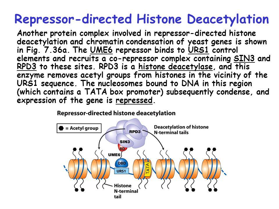 Repressor-directed Histone Deacetylation