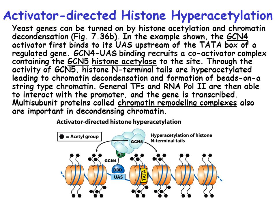 Activator-directed Histone Hyperacetylation
