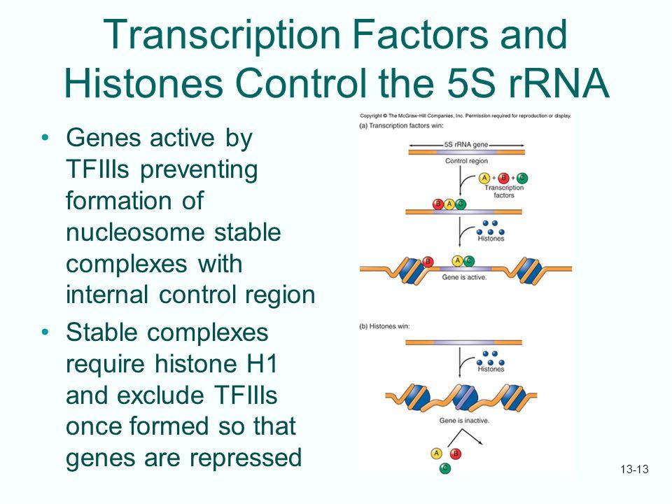 Transcription Factors and Histones Control the 5S rRNA