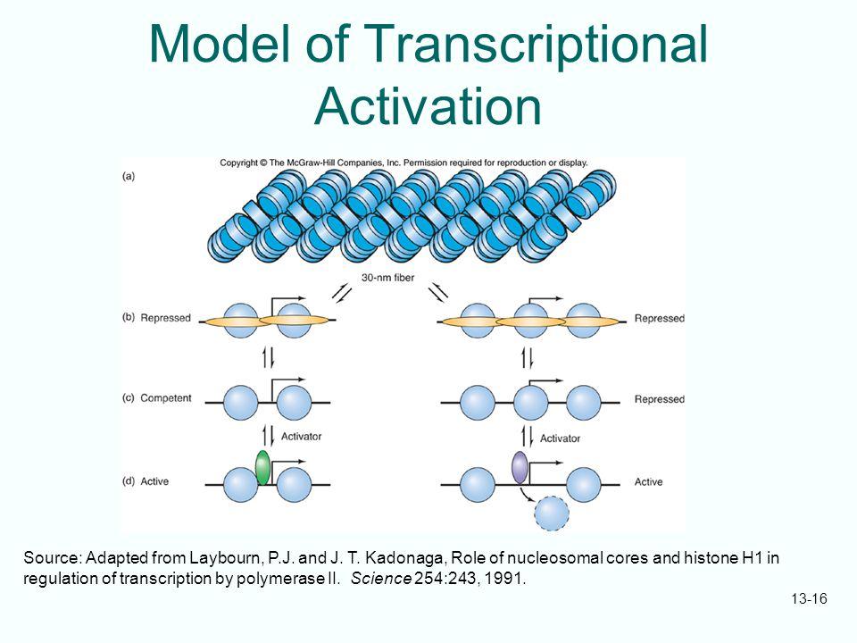 Model of Transcriptional Activation