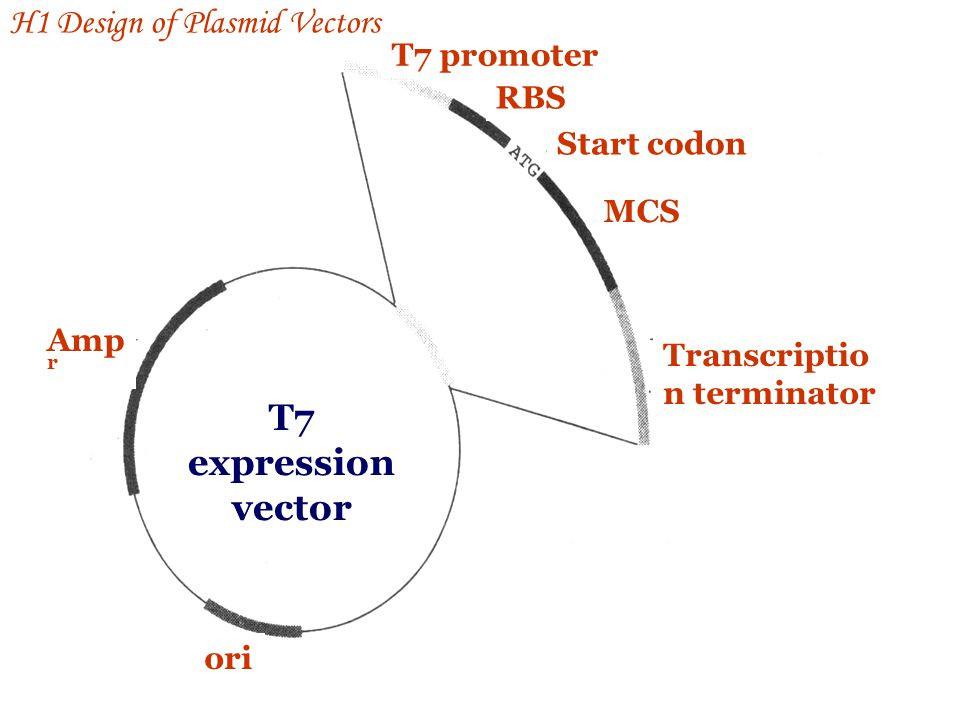 T7 expression vector H1 Design of Plasmid Vectors T7 promoter RBS