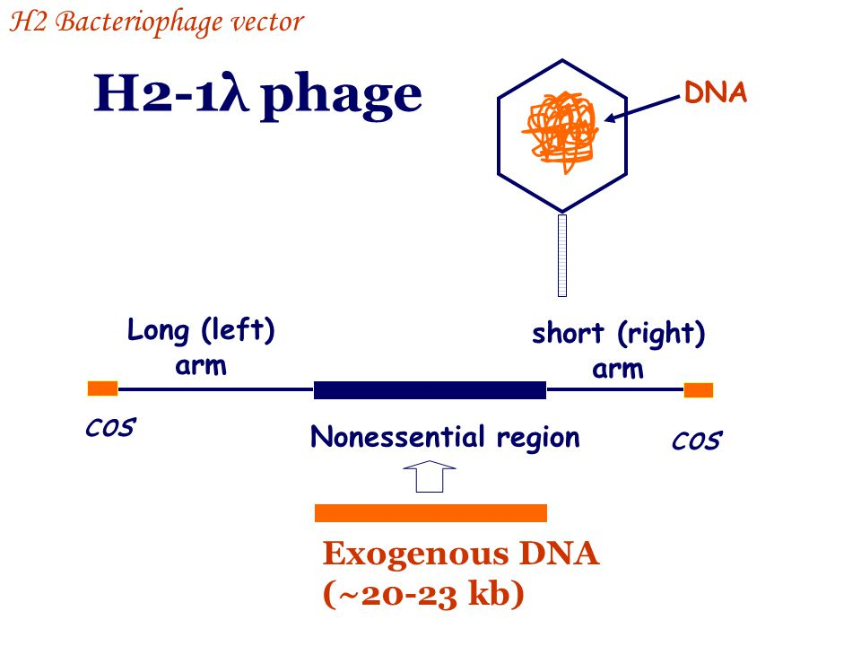 H2-1λ phage H2 Bacteriophage vector cos cos Exogenous DNA (~20-23 kb)