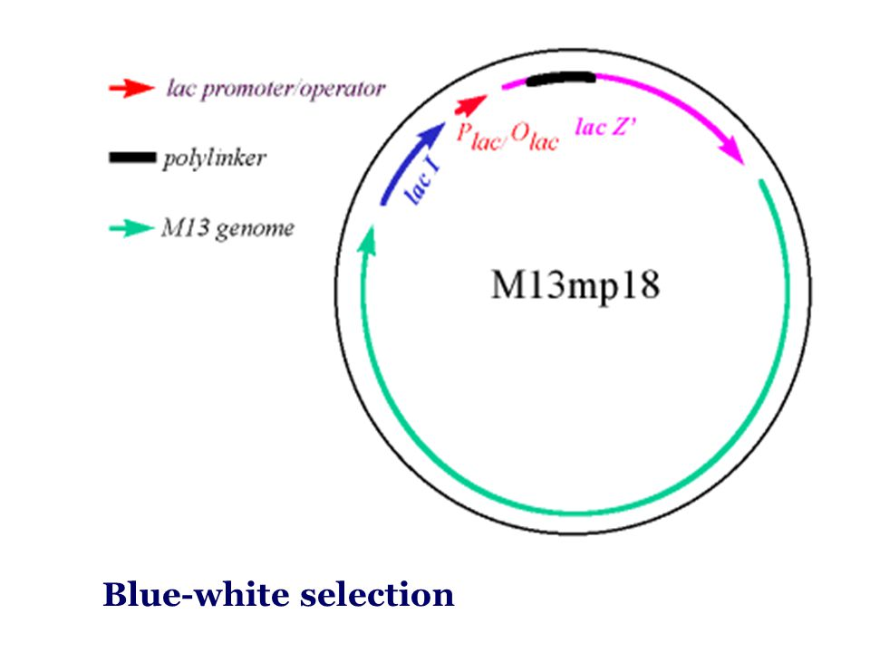Blue-white selection