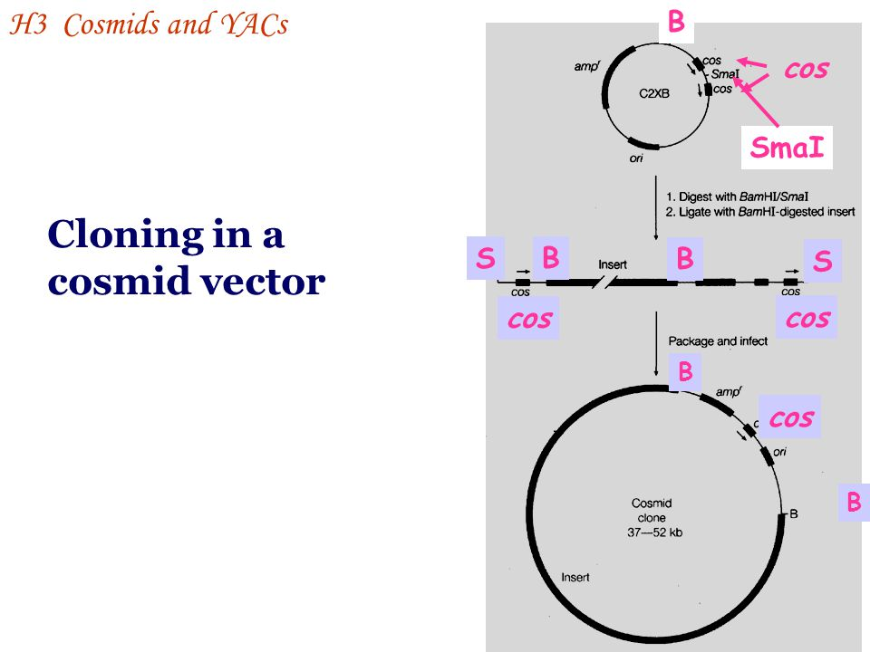 Cloning in a cosmid vector