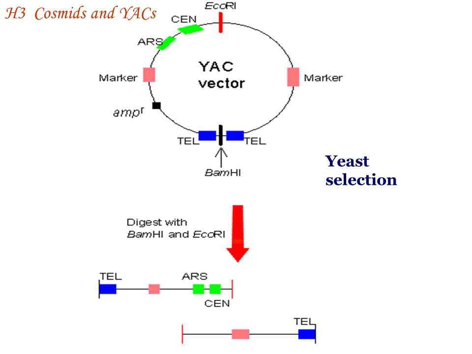 H3 Cosmids and YACs Yeast selection